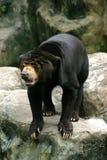 熊黑色动物园 免版税库存图片