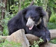 熊黑色印地安人 库存照片