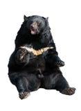 熊黑色喜马拉雅 免版税库存照片