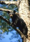 熊黑色崽 免版税库存图片