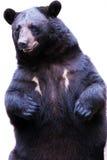 熊黑色 图库摄影