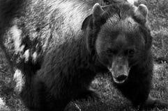 熊黑色 免版税库存图片