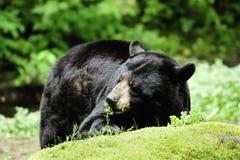 熊黑色 免版税图库摄影