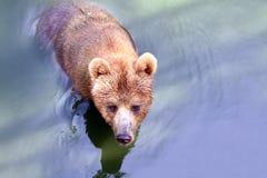 熊,北美灰熊在水中 免版税库存图片
