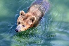 熊,北美灰熊在水中 库存照片