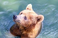 熊,北美灰熊在水中 库存图片