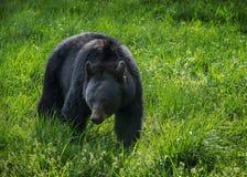 黑熊, Cades小海湾,大烟山 免版税库存照片
