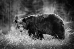 黑熊(熊属类americanos)特写镜头走 库存照片