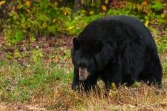 黑熊(美洲的熊属类)走头下来 免版税图库摄影