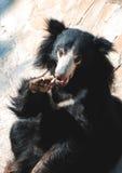 熊黑色怠惰 免版税图库摄影