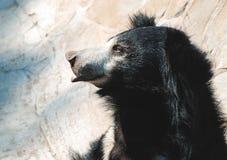 熊黑色怠惰 免版税库存照片