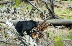 黑熊 免版税库存照片