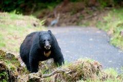 黑熊 库存图片