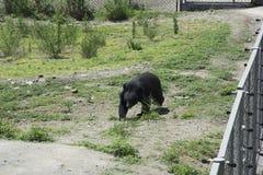 黑熊 免版税图库摄影