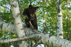 黑熊Cub (美洲的熊属类)做轮爬下来树 免版税库存照片