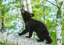 黑熊Cub (美洲的熊属类)查寻对天空 免版税库存图片