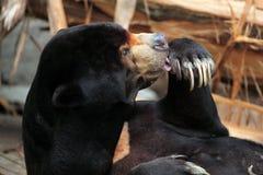 熊helarctos马来亚malayanus星期日 免版税库存照片