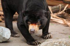 熊helarctos马来亚malayanus星期日 免版税库存图片