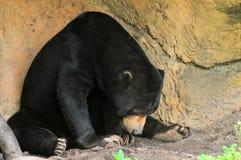 熊helarctos malayanus星期日 库存图片