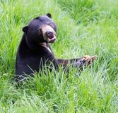 熊helarctos malayanus星期日 图库摄影