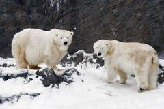 熊maritimus极性熊属类 图库摄影