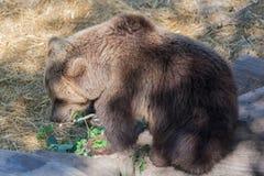 熊Skansen公园斯德哥尔摩瑞典 免版税库存照片