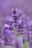 熏衣草属或淡紫色 库存照片