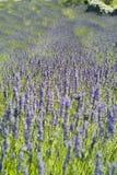 熏衣草属淡紫色 库存图片