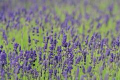 熏衣草属淡紫色 免版税图库摄影