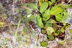 熔化在植物附近的冰 库存图片