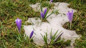 熔化的雪和开花在春天流逝的番红花花 股票录像