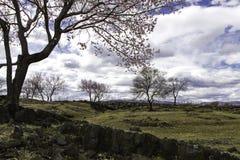 熔岩高原杏子开花  图库摄影