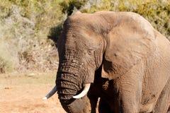 熟睡-非洲人布什大象 免版税图库摄影