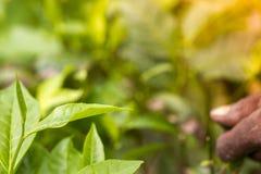 熟练工递采摘绿茶未加工的叶子 在Moulovibazar,孟加拉国 免版税库存照片