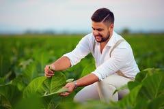 熟练的农庄主检查在农田的烟草叶子 库存图片