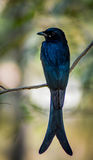 黑燕卷尾不可思议的鸟 库存图片