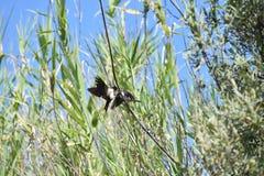 燕子哺养 库存图片