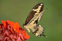 燕子在橙色百日菊属的尾巴蝴蝶 库存照片