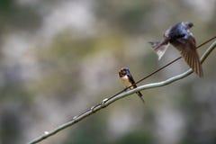 燕子坐导线杂色的背景 免版税库存照片