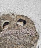 燕子巢与幼鸟的在中部 免版税库存照片