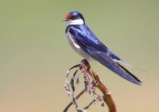 燕子红喉刺莺的白色 免版税库存图片
