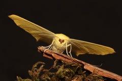 燕尾状飞蛾。 免版税库存图片