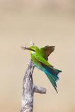 燕尾状食蜂鸟 免版税库存照片