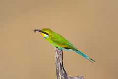 燕尾状食蜂鸟 库存图片