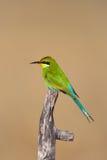 燕尾状食蜂鸟 免版税库存图片