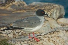 燕尾状鸥在南广场海岛 免版税库存照片