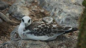 燕尾状鸥小鸡在南广场海岛 免版税库存图片