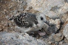 燕尾状鸥小鸡在南广场海岛 库存照片