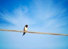 燕属rustico -燕子,唱歌在导线,戏曲的候鸟 库存图片
