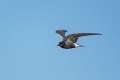 黑燕鸥 库存照片